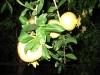 Granatäpfel bei Nacht