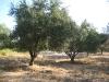 Unser Olivenöl von eigenen Olivenbäumen ..
