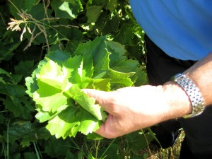 grape leaves harvest in Georgios´ vine