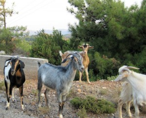 healthy free ranged goats